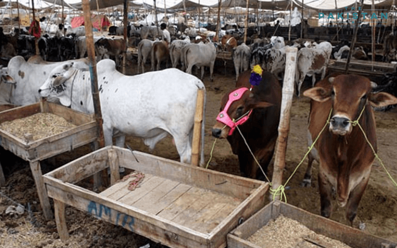 Cattle markets can open between 6am to 7pm, says NCOC
