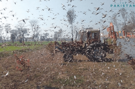 Locust breeding begins in Thar, Cholistan