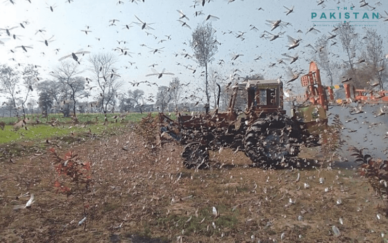 Locust breeding begins in Thar, Cholistan